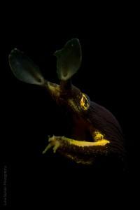 Juvenile ribbon eel