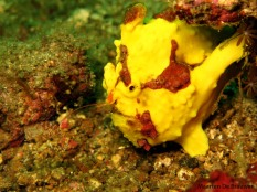 Is it a sponge? Is it a rock? It's a Warty Frogfish! (Antennarius maculatus)