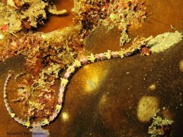 Halicampus macrorhynchus