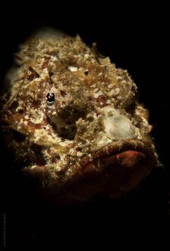 Flasher Scorpiofish (Scorpaenopsis macrochir)