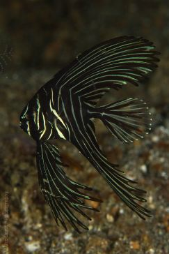 Baby Zebra Batfish (Platax batavianus)
