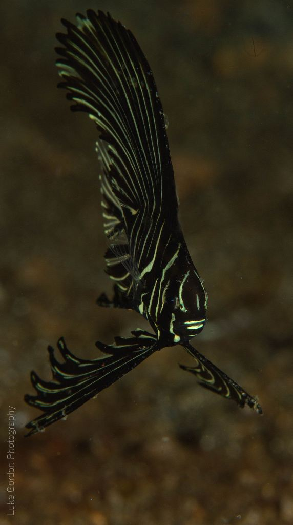 Zebra batfish (Platax batavianus)