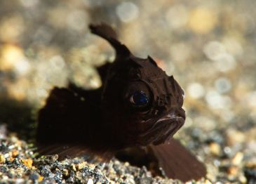 Very tired looking baby Scorpionfish