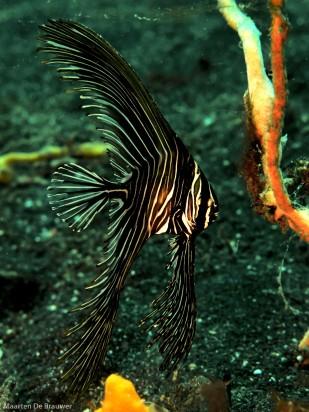 Zebra batfish, large juvenile (12 cm)