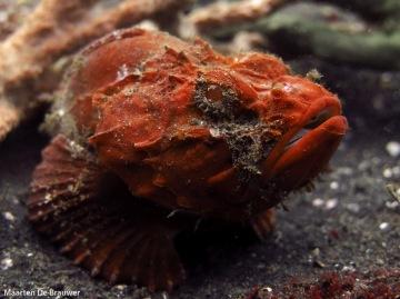 Flasher Scorpionfish (Scorpaenopsis macrochir)
