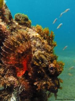 Raggy Scorpionfish (Scorpaenopsis venosa)