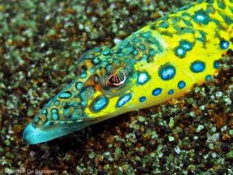 Sand Diver (Trichonotus elegans)