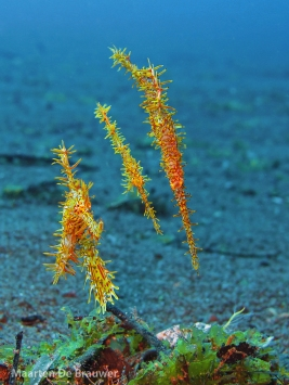 Social group of Ornate Ghostpipefish