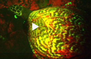 Fluorescent Hawksbill Turtle (Capture from NatGeo video)