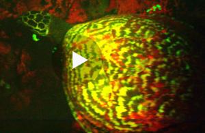Fluorescent Hawksbill Turtle (Capture from NatGeo video)