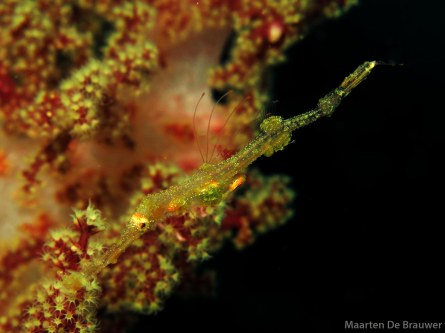 Juvenile Ornate Ghostpipefish - Still partially transparant