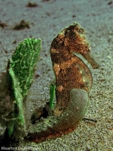 Best of Dauin_Seahorse Estuary_MDB