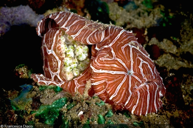 Psychedelic frogfish_eggs