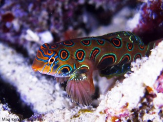 Picturesque Dragonet (Synchiropus picturatus)