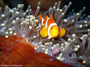Best of Bali_Clownfish and Periclemens shrimp_MDB
