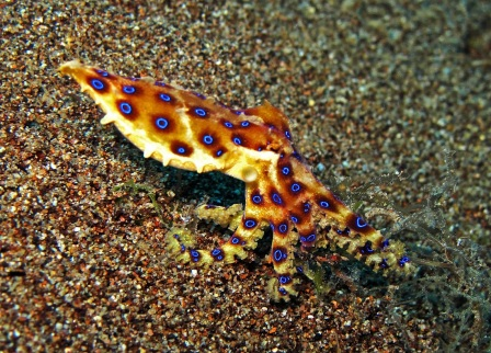 Best of Dauin_Blue ringed octopus_small.jpg