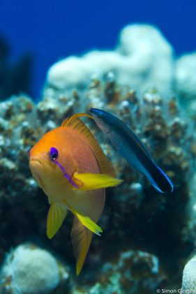 cleaner_anthias
