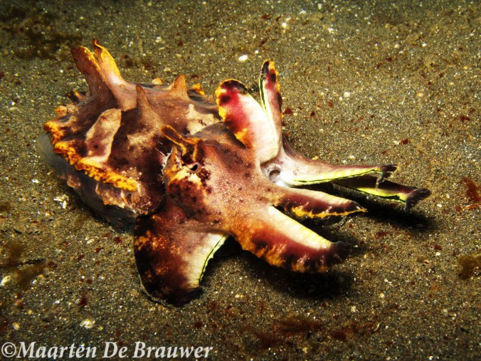 flamboyant-cuttlefish2