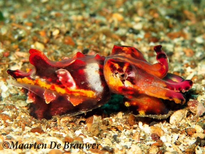flamboyant-cuttlefish4
