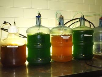 Algae cultures (=artemia food)