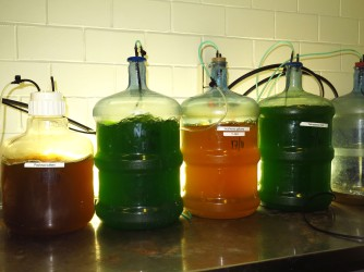 Algae cultures (=artemia food)