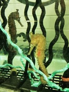 seahorse_tank