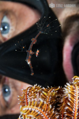 Juvenile Ornate Ghostpipefish (Solenostomus paradoxus) - Picture: Luke Gordon