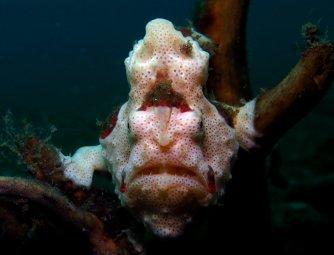 Adult painted frogfish (Antennarius pictus)