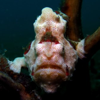Adult painted frogfish (Antennarius pictus)