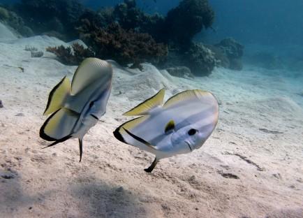 Adult longfin batfish (Platax teira)