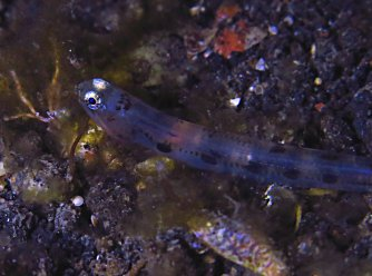 Larval lizardfish, just arrived on the reef