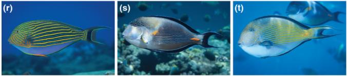 hybrid_surgeonfish