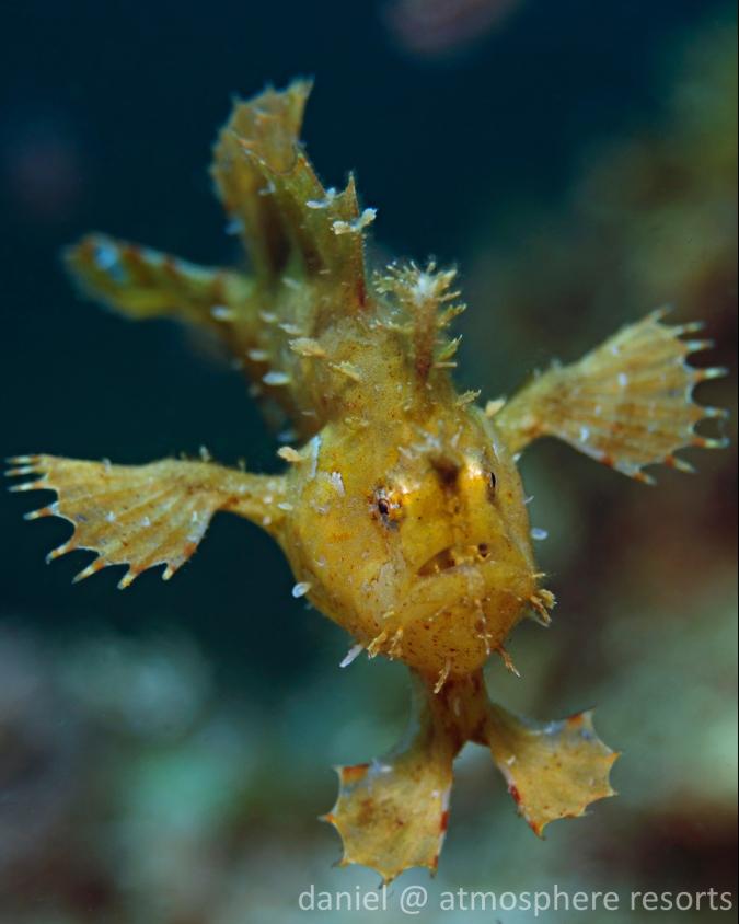 sargassumfish.jpg