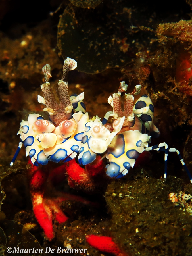 Harlequin shrimp_MDB