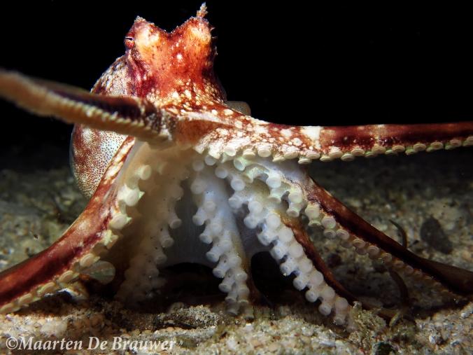 Octopus_MDB