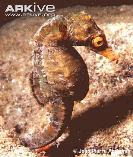 Knysna-seahorse
