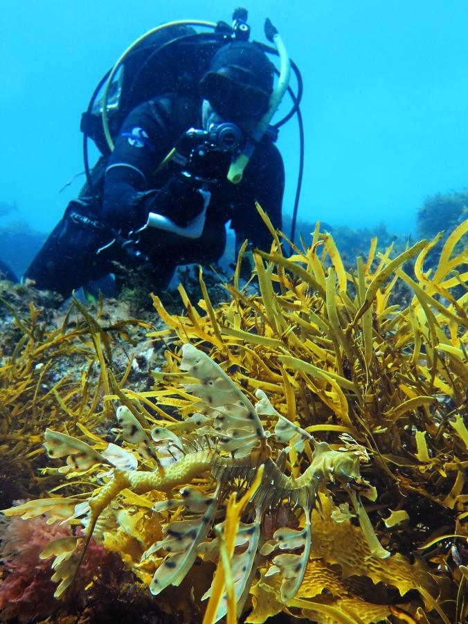 Leafy seadragon Craig