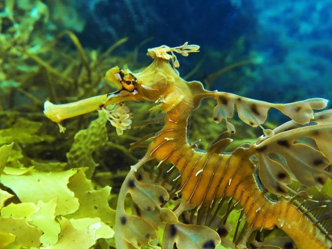 Leafy seadragon profile