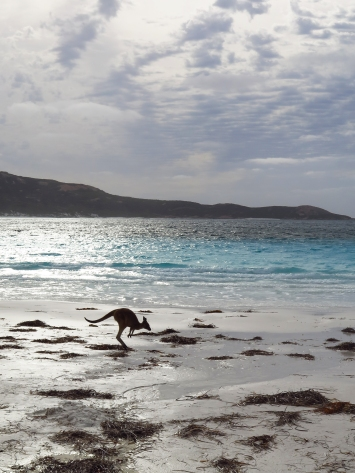 Kangaroo hops away in Lucky Bay