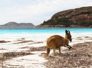 Lucky Bay Kangaroo indulging in seagrass fruit